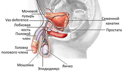 Строение мочеполовой системы мужчины