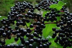 Лечение ягодами бузины