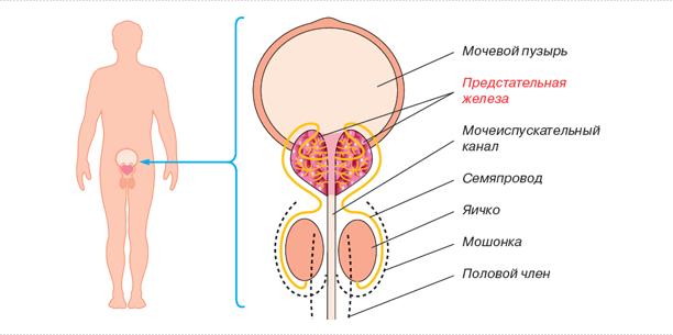 Хронический простатит и прямая кишка